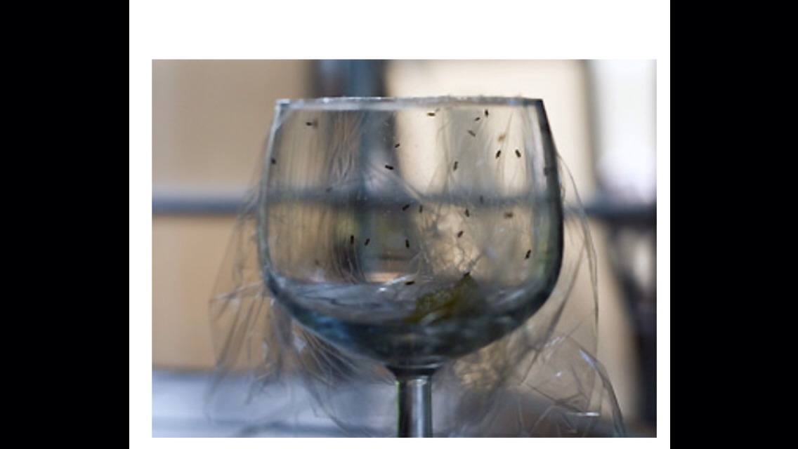 """To get rid of these pests, you'll need: Saran Wrap A fork A wine glass Fruit (orange/ lemon slice) OR leftover wine  Put the fruit (or wine) in the bottom of the glass.  Cover with Saran Wrap and poke holes in the plastic.    Watch and be amazed.. In a few hours, your house """"guests"""" will be trapped"""