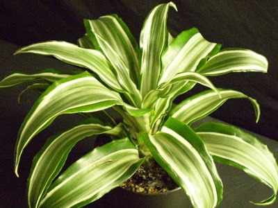 Warneck dracaena Combat pollutants associated with varnishes and oils with this dracaena. The Warneckii grows inside easily, even without direct sunlight. With striped leaves forming clusters atop a thin stem, this houseplant can be striking, especially if it reaches  its potential height of 12 feet