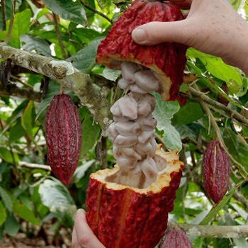 •Cacao may be an aide to cardiovascular diseaseas it may lower inflammation & block the oxidation of undesirable LDL cholesterol. •Cacao is high in resveratrol, a potent antioxidant, known for its ability to cross your blood-brain barrier to help protect your nervous system.