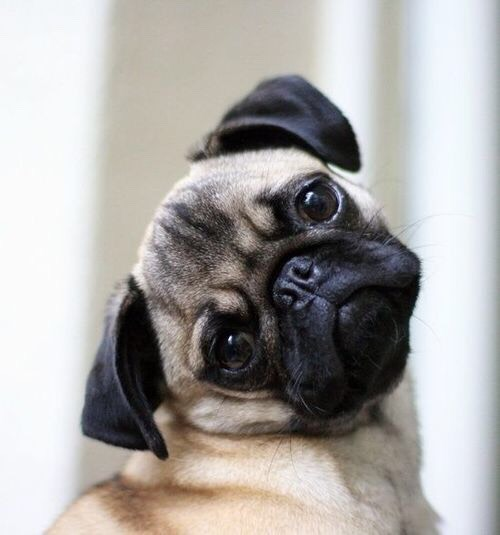 Why pugs want to break they neck well for the fun of it