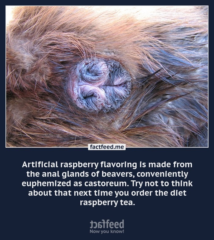 Anal gland of a beaver