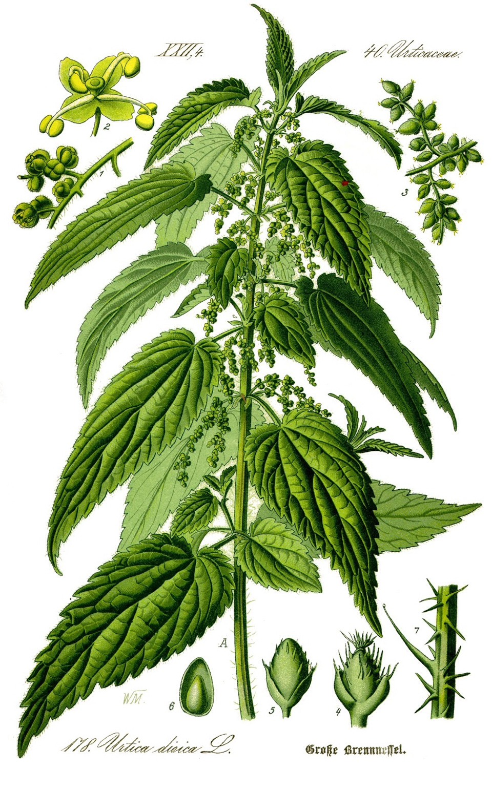 Nettle -aka the bowel mover - These plants are best known as stinging nettle plants - when nettle leaves are dried and eaten the saliva neutralizes the sting - Nettles are incredibly effective in removing unwanted pounds