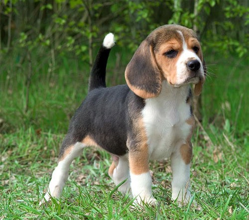 Beagle- these dogs are a non shedding breed they are very noisy and excitable but still caring and lovable and loyal