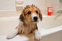1. Wet your dog( where you usually shower him/her.