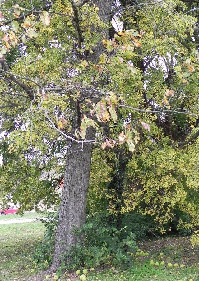 This is the osage orange tree! These trees are usually really tall and you can always see the osage fruits at the bottom of the trees