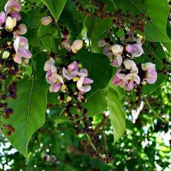Karanja Oil is derived from the Indian Pongam Tree. Karanja Oil can be used to treat eczema, psoriasis, skin ulcers, dandruff, or to promote wound healing.