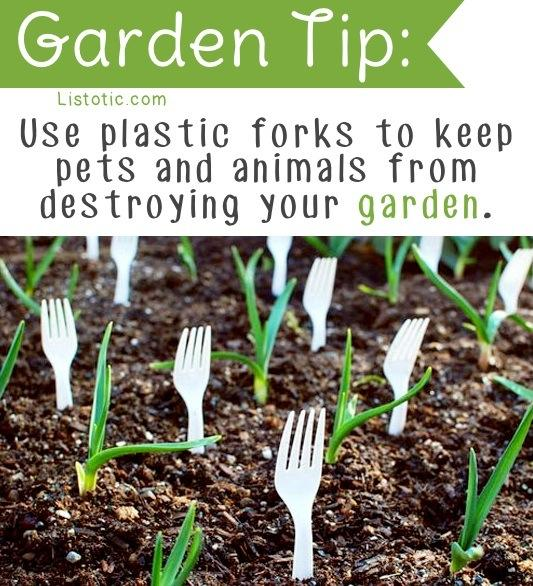 put plastic forks all over your garden to keep animals and pests from destroying your crop