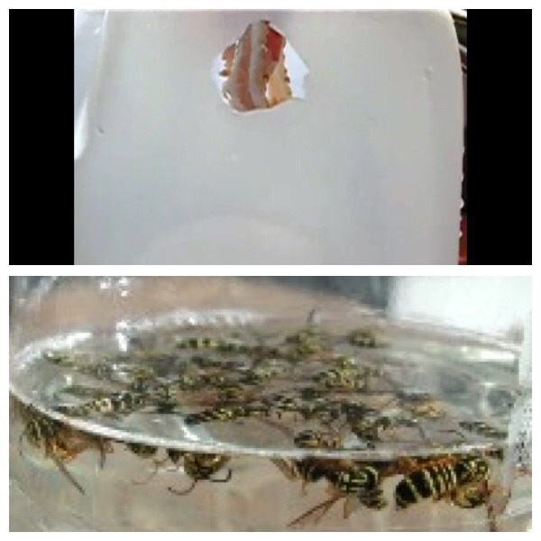 The insects will be attracted to the meat and will fly inside. Naturally, after yellow jackets have eaten they fall off of whatever they have been eating. They will then fall into the water, and the soap creates a barrier around them that makes it impossible to get out. They therefore drown.