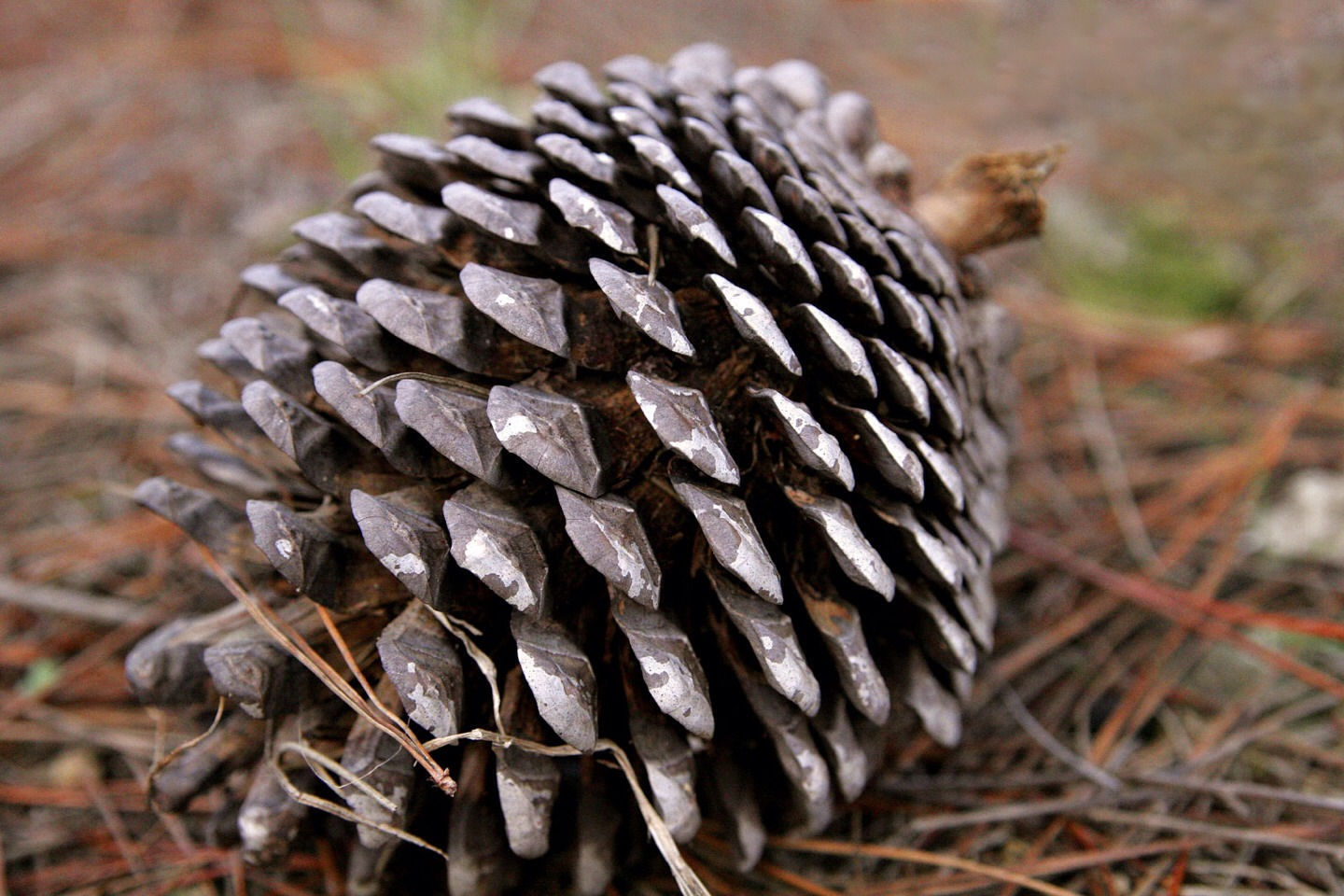 Pine cones for immunity - take concentrated pine cone extract found in products like ImmunExtra or Immunophen.