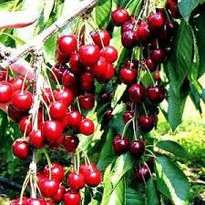2. Cherries. It takes about 2-3 years to start bearing fruit from when they were planted.