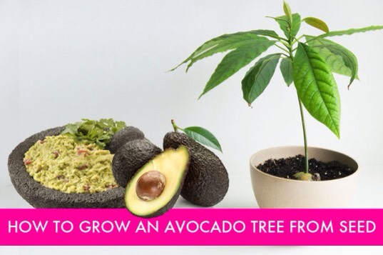 Avocados are one of the wonderful fruits of summer. High in nutrition and flavor, nothing signals the start of summer like a zesty lime guacamole dip with tortilla chips.