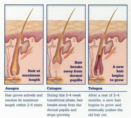 First off, your hair has three phases, the Anagen, Catagen, and Telogen. Anagen phase is when your hair grows the most. The Catagen phase is where it rests for temporarily. The Telogen phase is where it takes the old hair and pushes new hair in. . Go to the next page for tips.