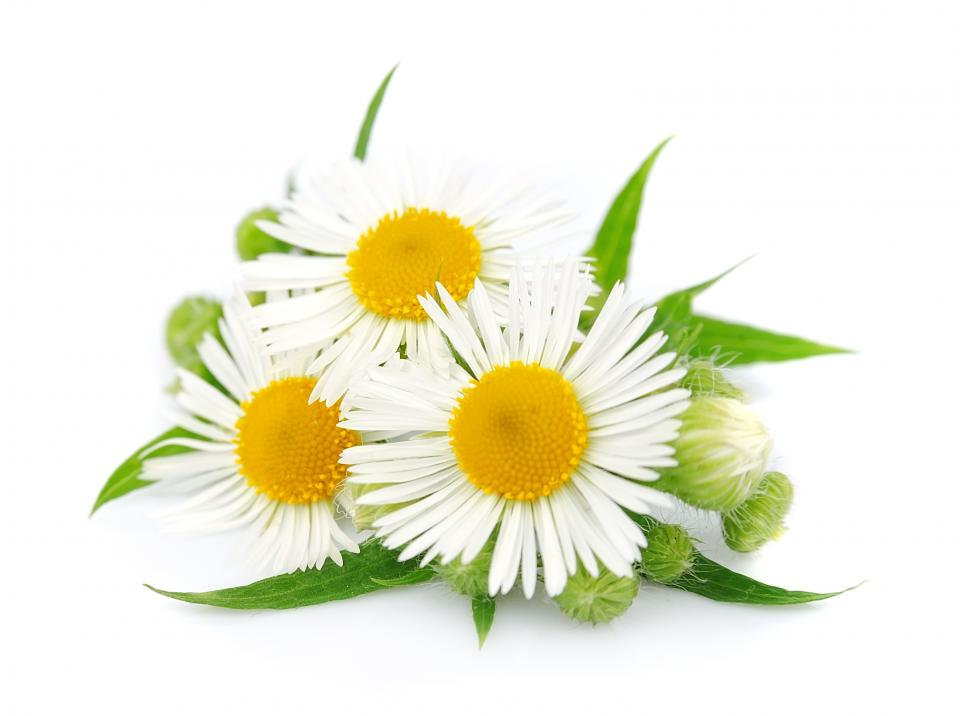 Chamomile   Anti-inflammatory, heals wounds, can treat eczema, sensitive skin and rosacea