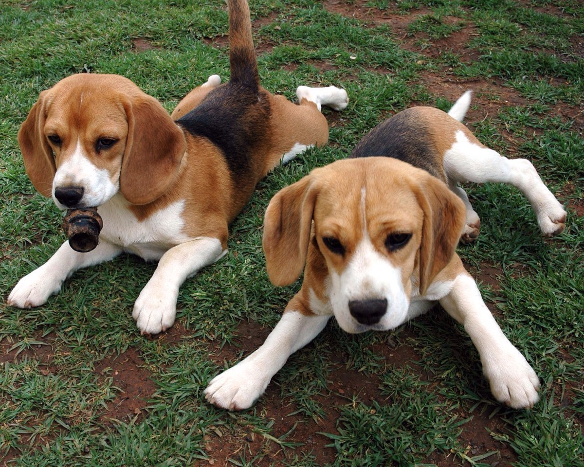 Beagles: These adorable little hounds are perfect for an ACTIVE family. They adore love and exercise. They need a fenced in yard for running around. And I hope you don't mind digging. These dogs are made for hunting small animals by digging.