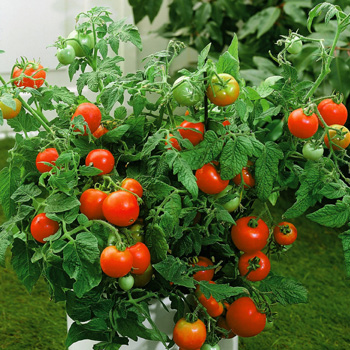 Tomato plants are easy and there are so many things you can make when grown.