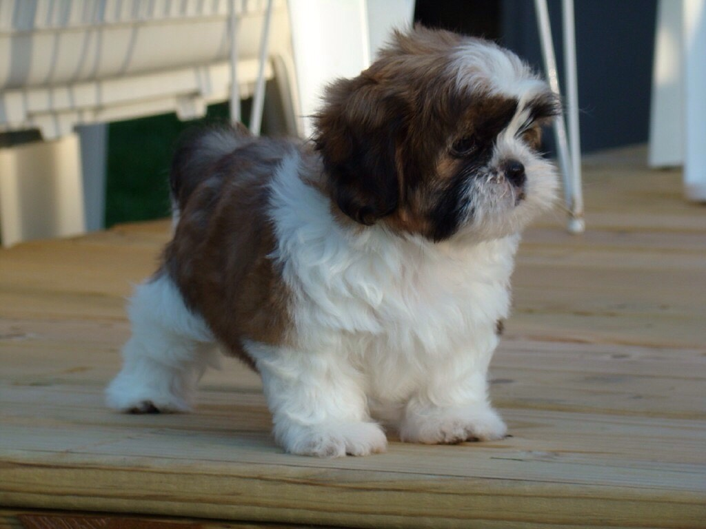 1. Shih tzu i have a shih tzu myself love her soo much ! amazing with children ❤️