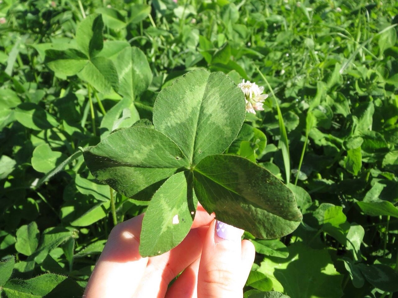 Skim over the patch instead of staring at individual clovers. Three-leaf clovers look like triangles, four-leaf clovers look like squares so look for the square.