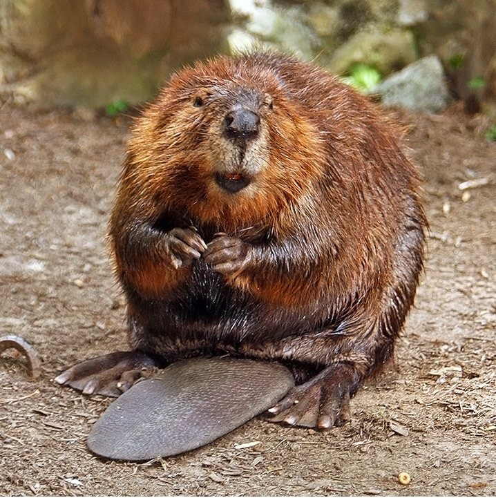 """6. """"Natural"""" vanilla, strawberry, and raspberry flavoring comes from a beaver's anal gland."""
