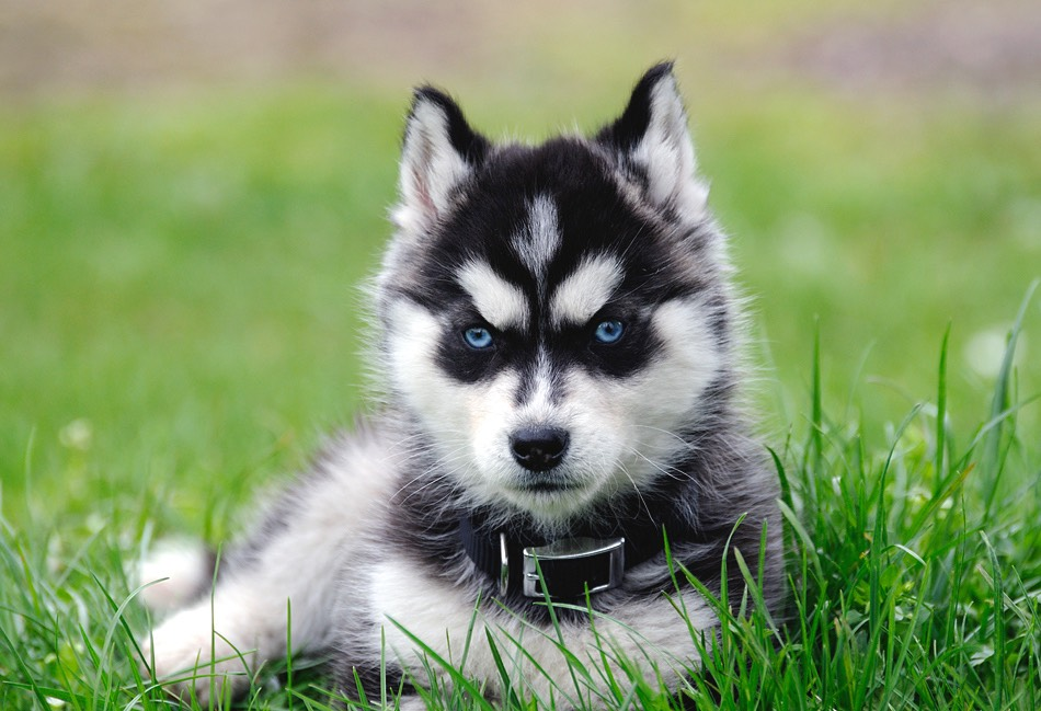 3. Siberian husky my friend has one here it is 👉