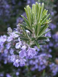 Rosemary:  Rosemary is a beautiful flowering plant that is often used to flavor lamb or fish dishes, but did you know that it is also a natural mosquito repellent?