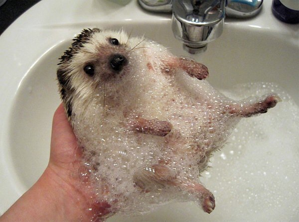 Hedgehog getting a bath.