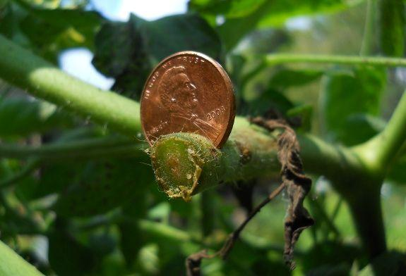 if your fighting tomato blight just stick a penny or two in your tomato plants and ta-da your problem is cured