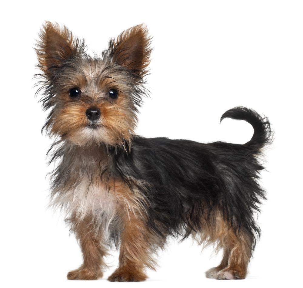 Yorkshire terrier- these tiny dogs are energetic excitable lovable and caring doge that always want a cuddle