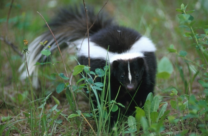 Eliminate Skunk Odor  To help eliminate skunk odor, mix a can of Coke with a little dish soap in a bucket of water. If you need a stronger solution, add hydrogen peroxide and baking soda to your mixture.