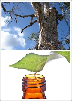 WHAT IS TEA TREE OIL? | Tea tree oil (Melaleuca alternifolia)is an essential oil + inthe past decadeits healing benefits havebeen catching on like wildfire.  The oil is extracted from a plant native to Australia + cannot be found naturally occurring elsewhere.