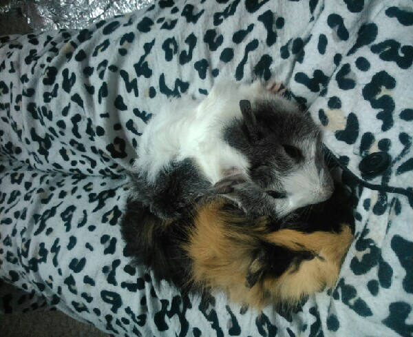 give pleanty of water and freshen up everyday, less bedding, wrap ice blocks in towels and place in cage / hutch , it really helps to keep them cool as you can see one of my guinea pigs is black and she get very hot but using these tip it has helped to keep her cool