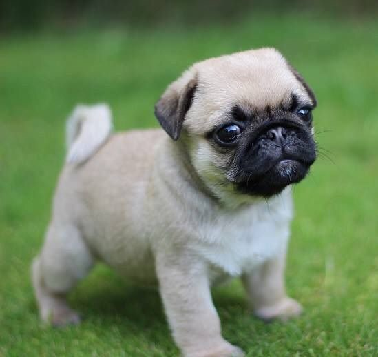 Why do pugs like to stare?there attracted to you