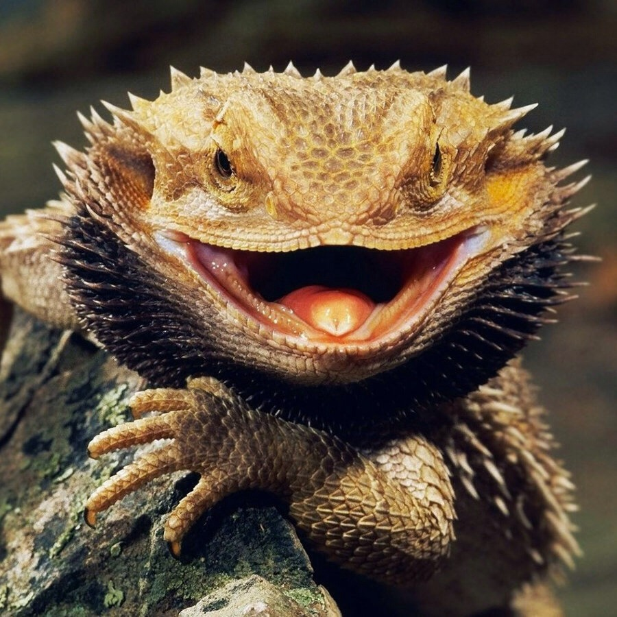 Bearded Dragon: Just look at that smile! Bearded dragons always look like they're smiling. I have owned a bearded dragon and he always wanted to be loved. They'll sit on you chest for hours. They eat crickets when they're young and veggies when they're older. They mostly range anywhere from $60-$100