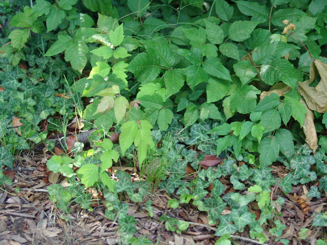 If you get poison ivy wash with dawn it will help dry up fluid and keep from spreading