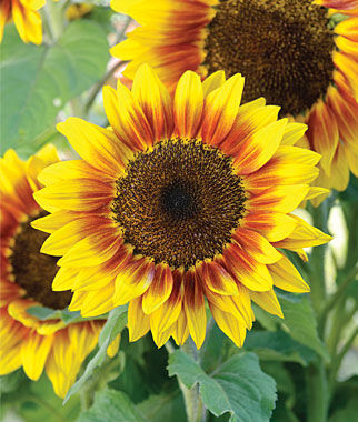 Sunflowers brighten up a garden immediately and get compliments!
