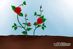 11)Tend the roses over the years. The following year, the rose plant will bear more leaves. Roses may not bloom that same year, but the following spring it may.
