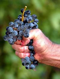 scwees your grapes and make sure that it is dried