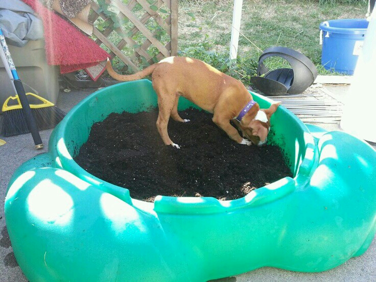 Used an old sandbox to keep her from digging out in the yard. Buried bones from the pet store and watched her have a blast!