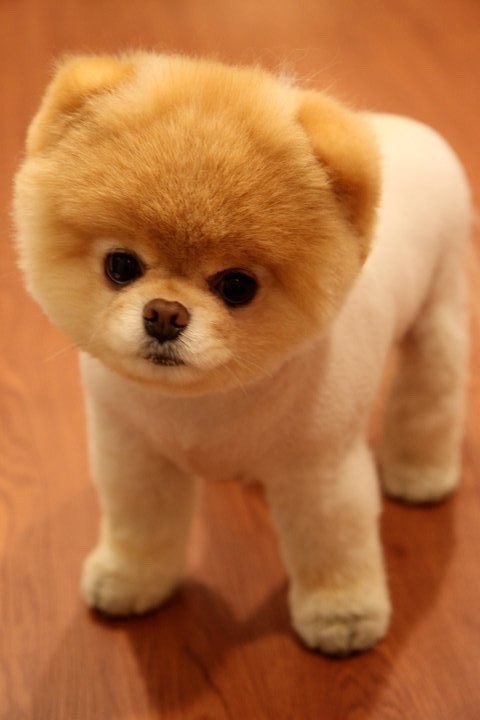 Pomeranian - a small dog with soft fluffy fur it has between minimal to average shedding and are kind and energetic