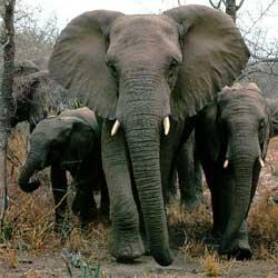 Elephants prefer one tusk over the other, just as people are either left or right-handed.