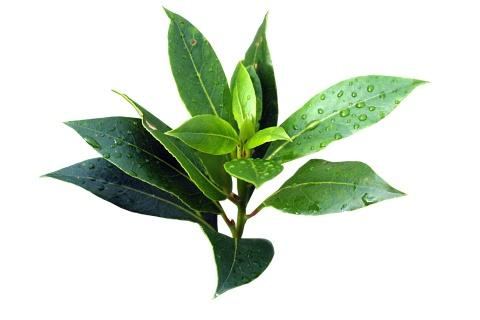 Tea Tree  Has anti-fungal and anti-bacterial properties, can treat cuts and scrapes