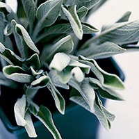 Add sage to everything and add it to your diet it improves memory 🌿