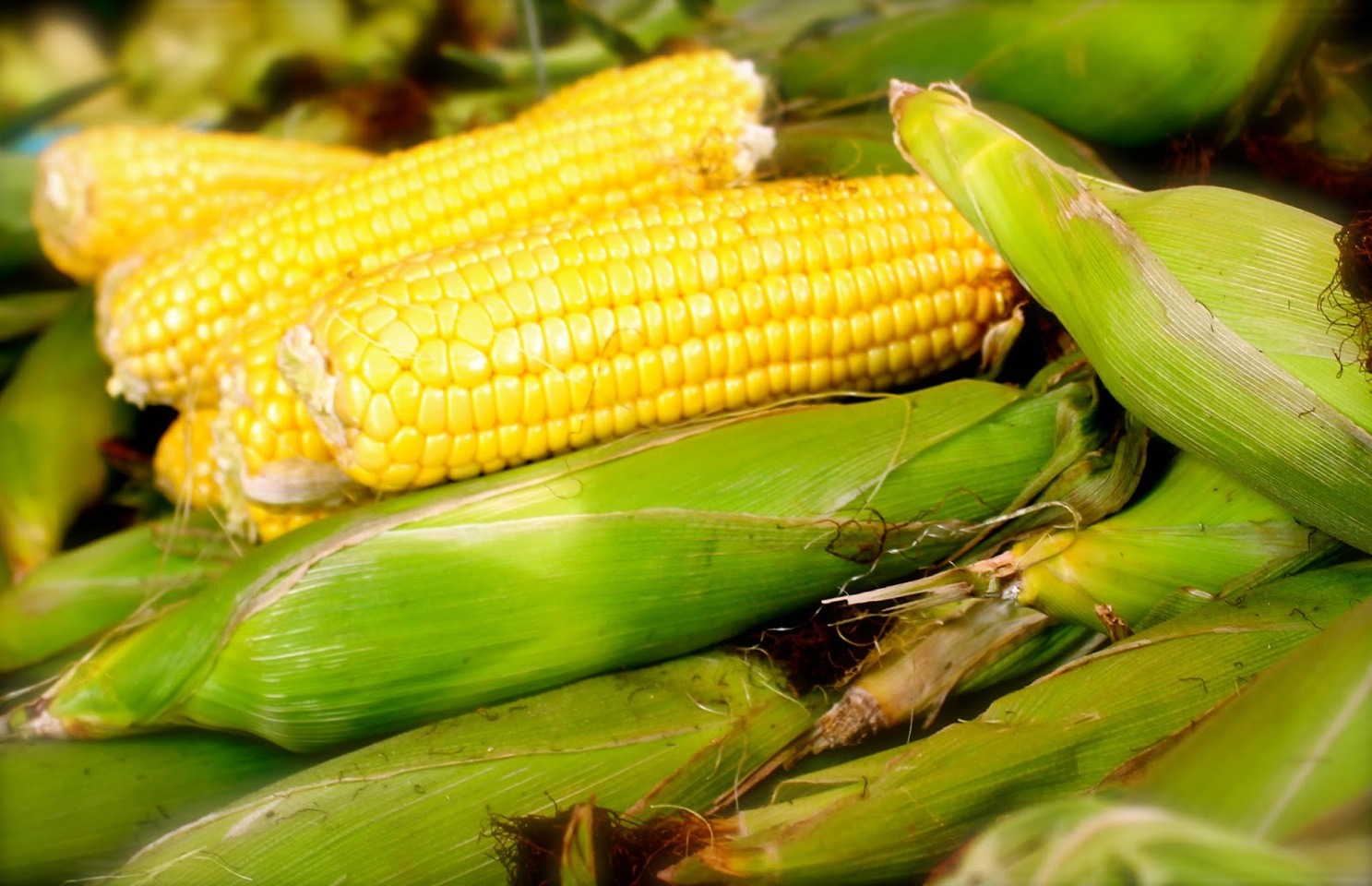 Keep unshucked corn at its best in the fridge by storing upright, in a tall container with stems submerged in water until ready to cook. Like a flower. It will last much longer.