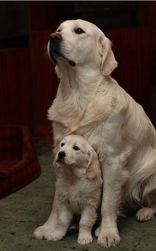 I'm just a dog lover...,especially golden!