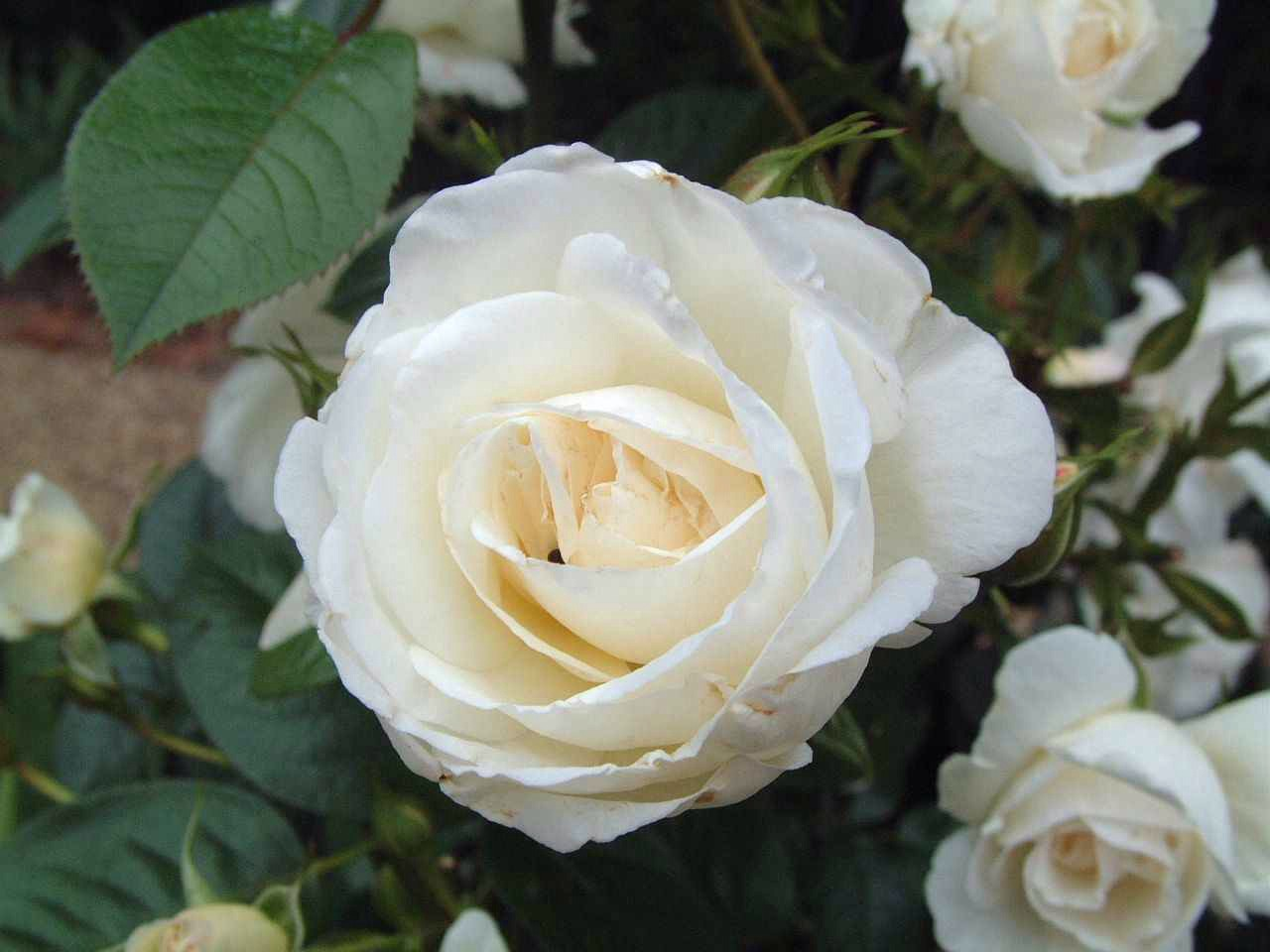 You will want to start off with a Rose that doesn't particularly have much base colour to it. I recommend either White or Beige based Roses because, when it comes to the upcoming step, you will see why...