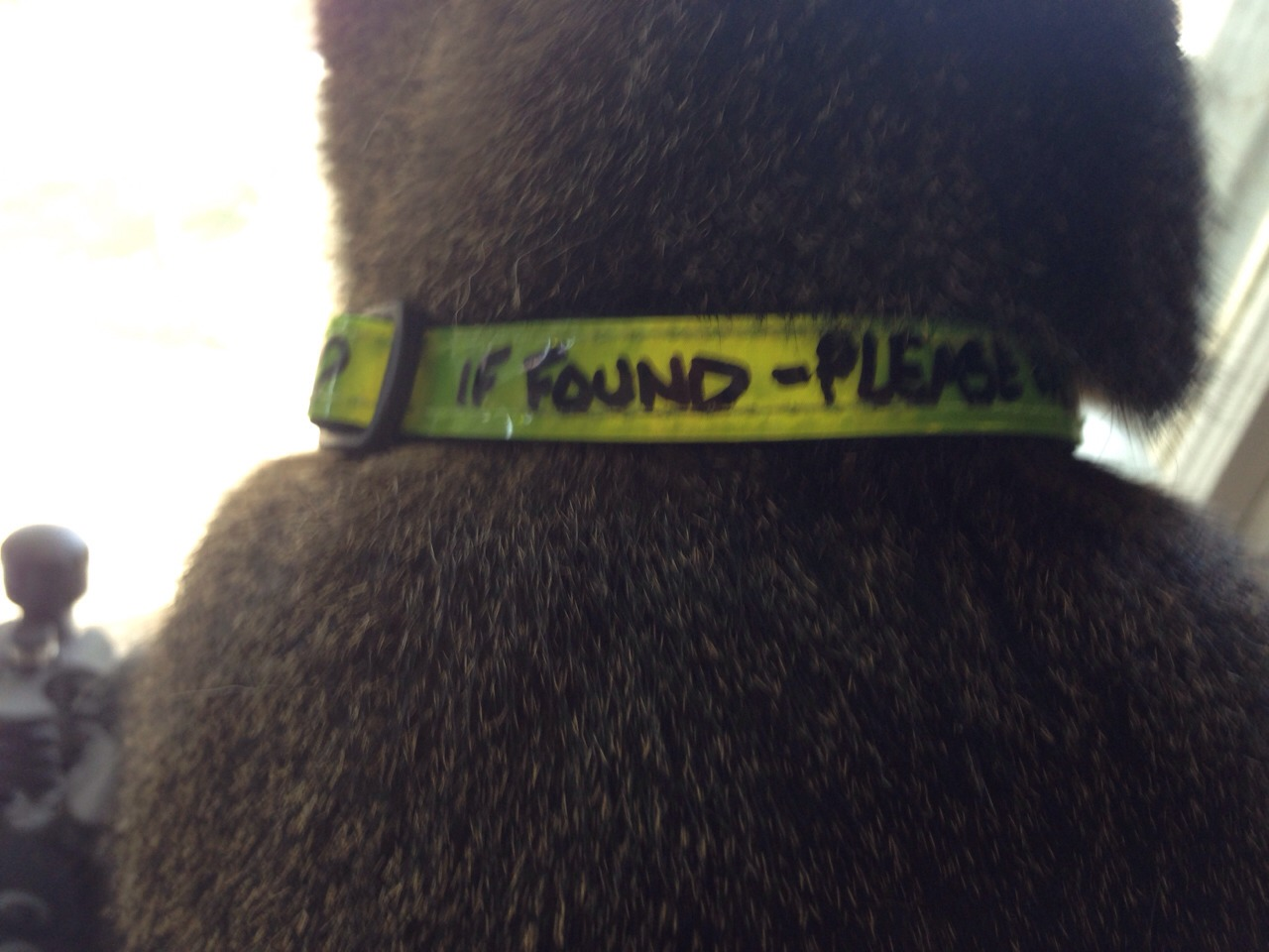 Spartacus sports his new reflective/ IF FOUND CALL.... collar!