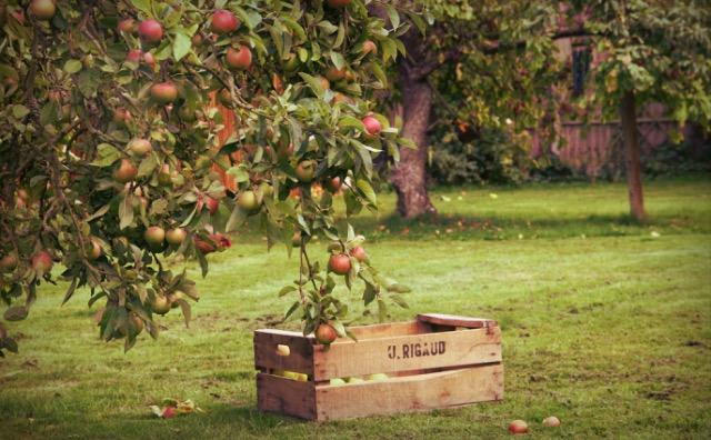 1. Go apple picking! Find a local orchard and pick some fresh fruit by the pound.
