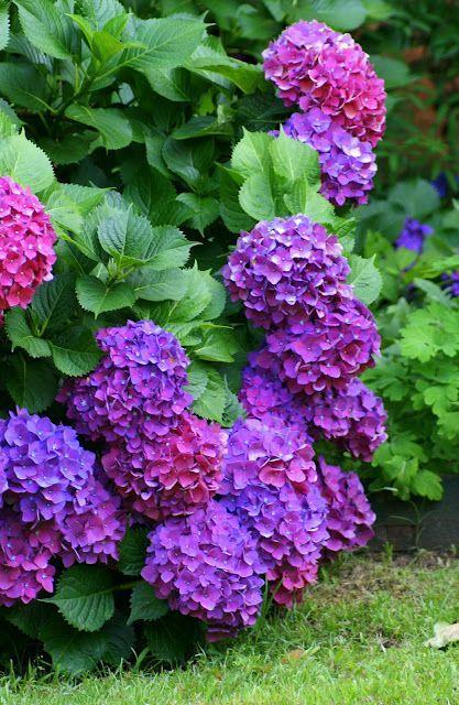 Hydrangeas will look beautiful in your yard or garden area