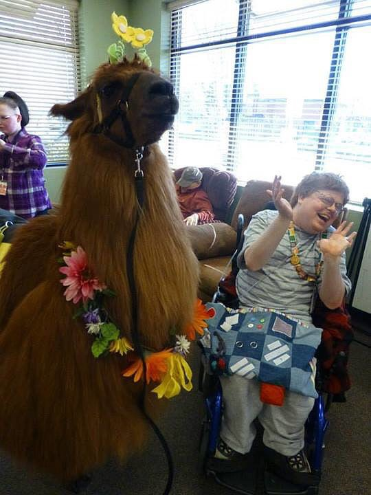 Rojo the Therapy Llama Spreading Happiness