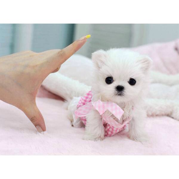 *Note that this is a TEACUP maltese*