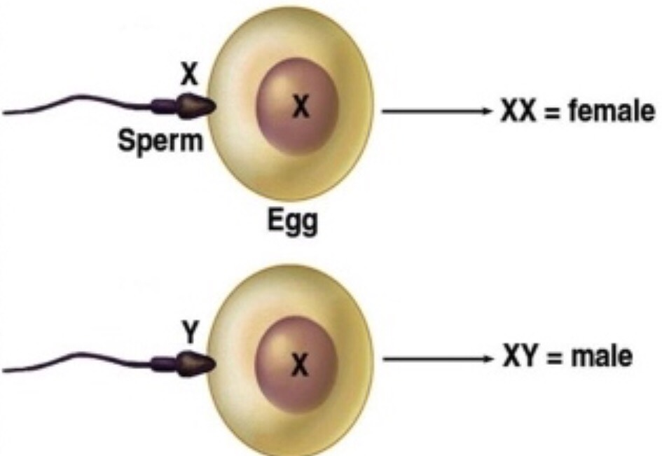 If the x-sperm penetrate the egg, it will create a female embryo, and if the y-sperm penetrate the egg, it will result in a male embryo.